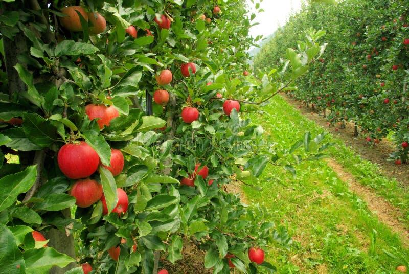 Apple on tree royalty free stock photos