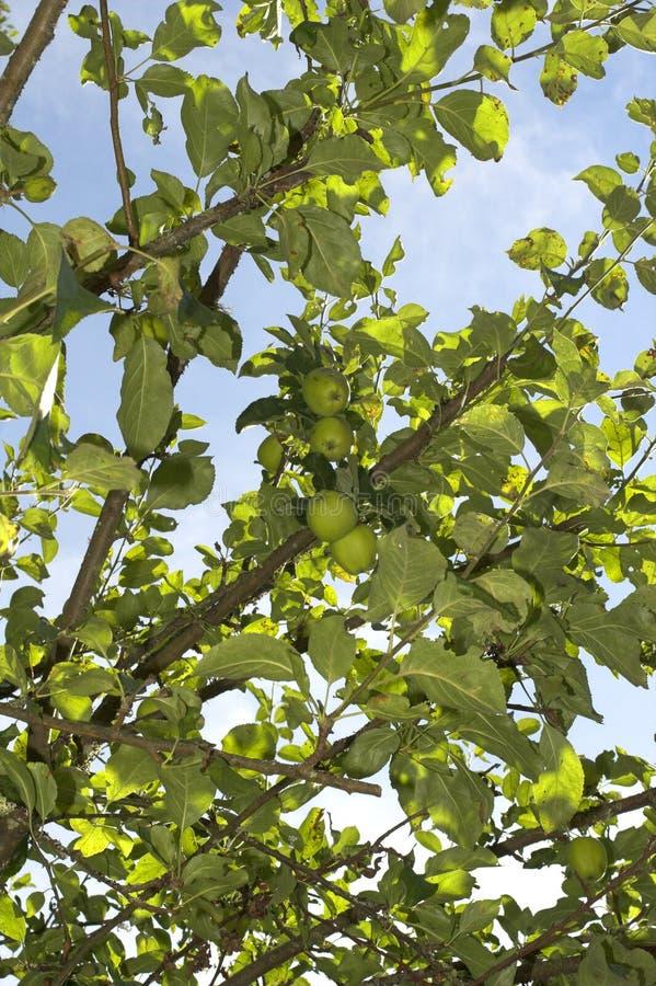 Free Apple Tree Stock Image - 1145881