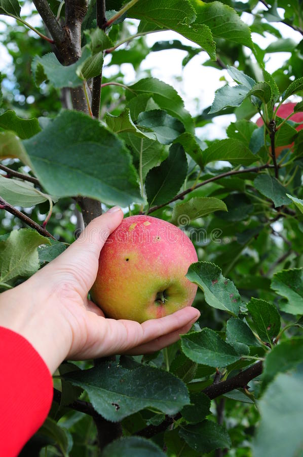 Download Apple tree stock photo. Image of leaves, autumn, nature - 19212660