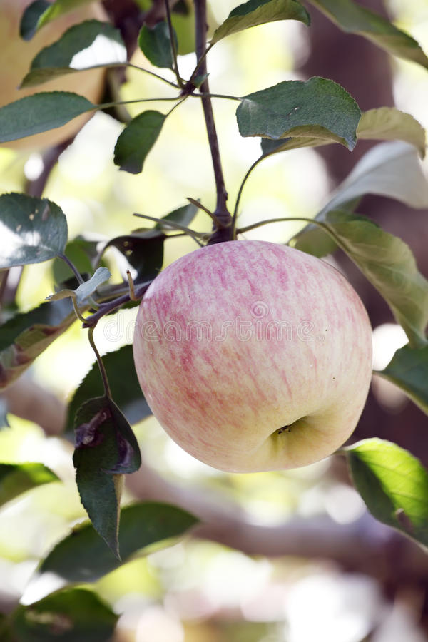 Download Apple tree stock photo. Image of autumn, background, freshness - 21436848