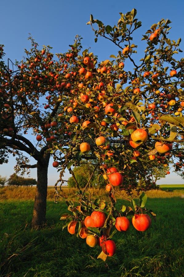 Apple tree royaltyfria foton