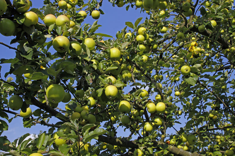 Download Apple tree stock photo. Image of yellow, tree, rennet - 23724080