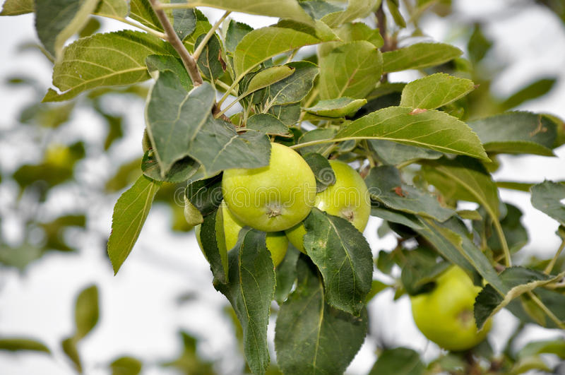 Download Apple tree stock photo. Image of farming, flora, farm - 27261204