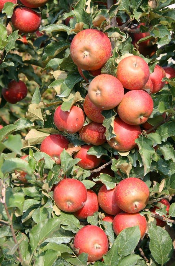 Apple Tree Royaltyfri Foto