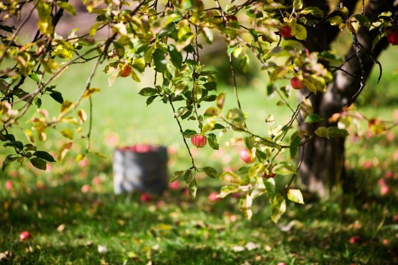 Apple tree. Big apple tree in beautiful autumn colors stock photography