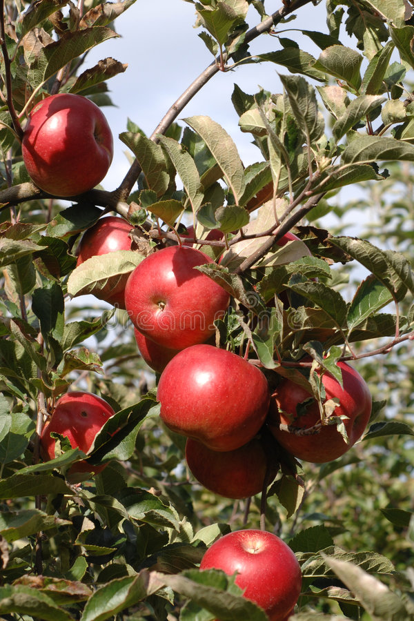 Apple tree. With red apples royalty free stock photos