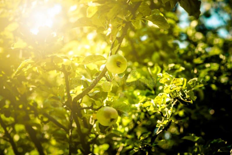 Apple tree stock image