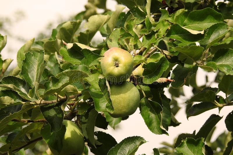 Apple Tree with apples royalty free stock photography