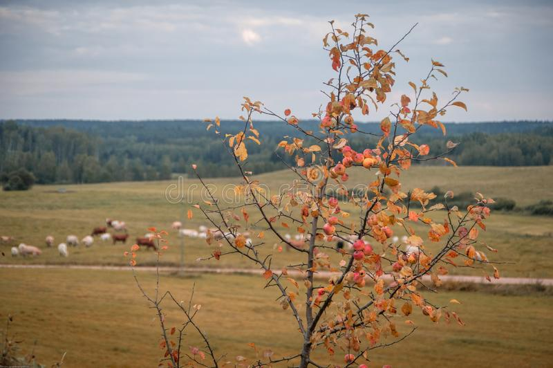 Apple tree in autumn colors against the blurry background of agricultural landscape royalty free stock image