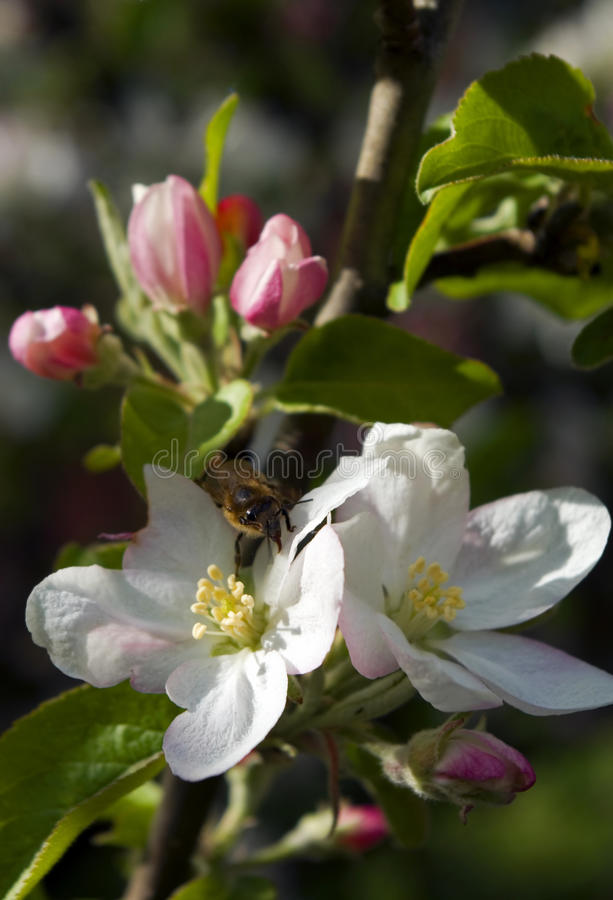 Apple tree with bee royalty free stock images