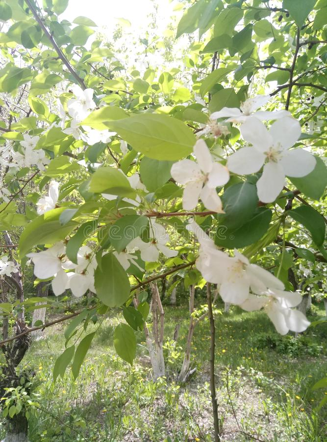 Apple tree in bloom. Apple tree bloom mobilestock flowers stock photo