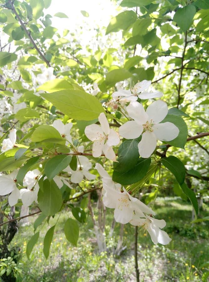 Apple tree in bloom. Apple tree bloom mobilestock flowers royalty free stock photos