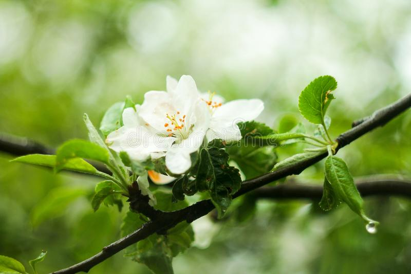 Apple tree in bloom, in a dutiful, cloudy day. royalty free stock photography