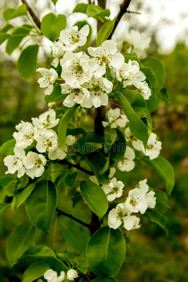 The Apple tree bloomed royalty free stock photo