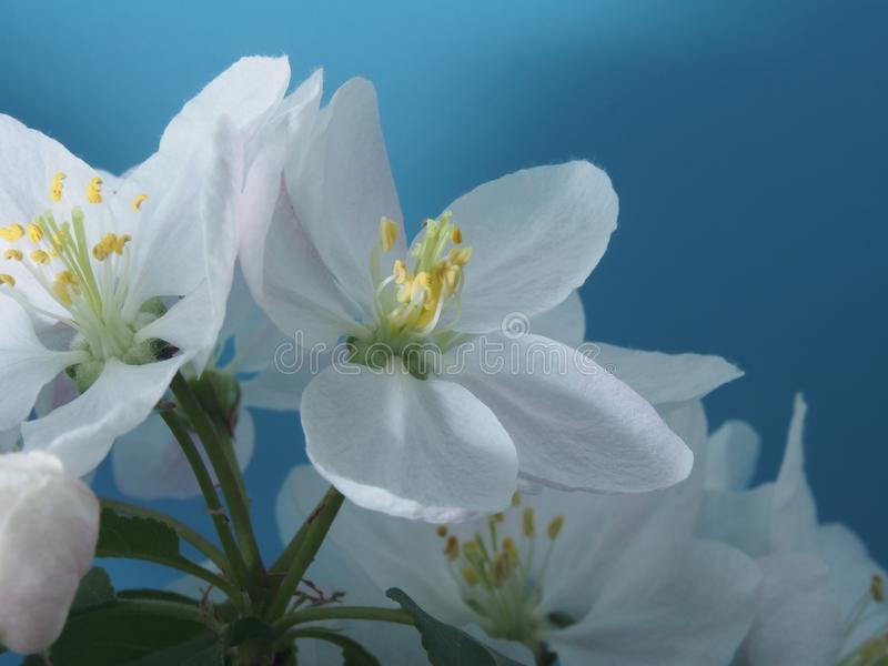 Apple tree blooms. White petals of the opened flower buds. stock photography