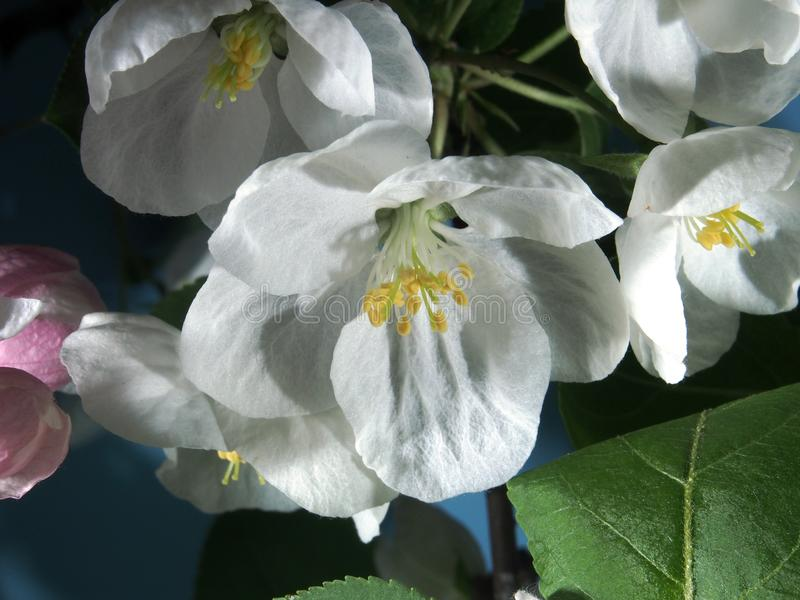 Apple tree blooms. White petals of the opened flower buds. royalty free stock photo