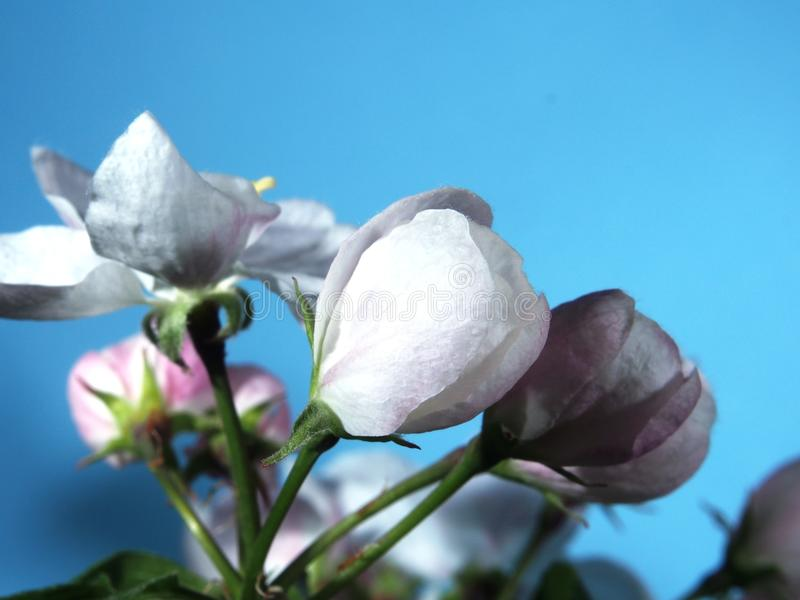 Apple tree blooms. White petals of the opened flower buds. stock photo