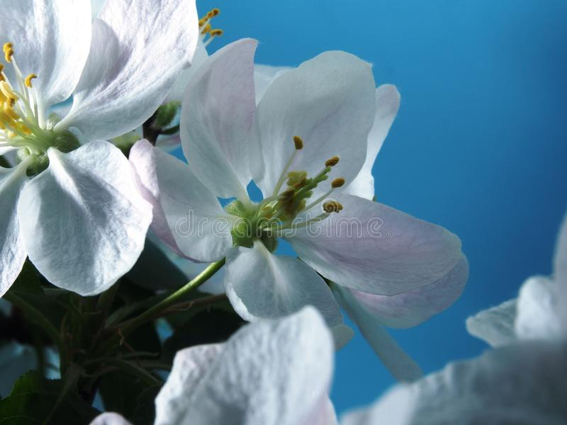 Apple tree blooms. White petals of the opened flower buds. royalty free stock photography