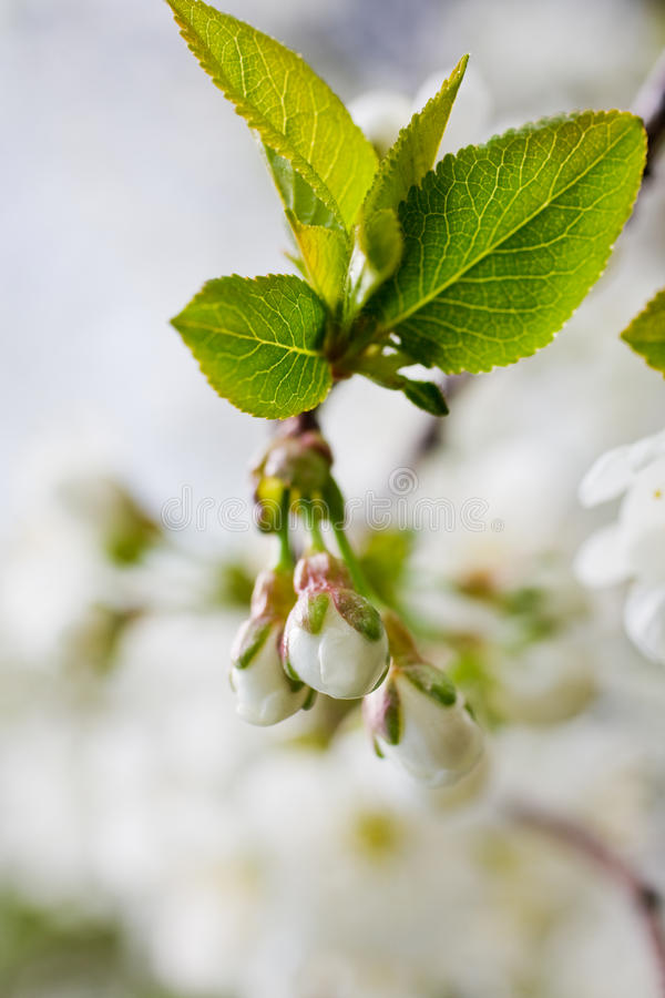 Download Apple tree blossom stock image. Image of background, branch - 13237859