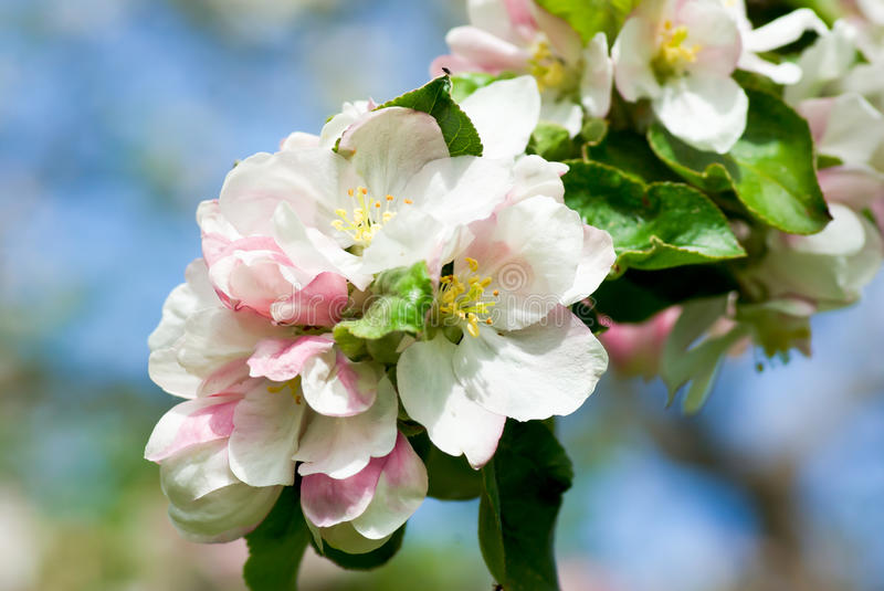 Apple tree blossom stock photography