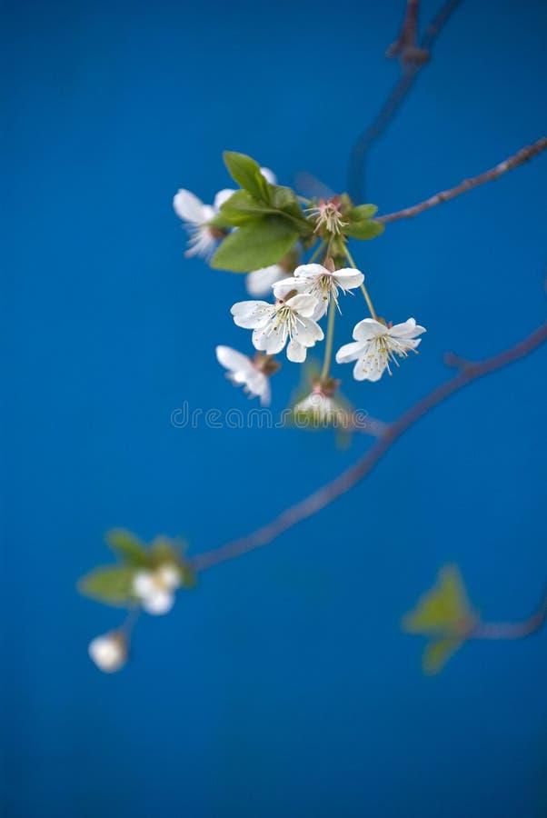 Free Apple Tree Blossom Royalty Free Stock Photography - 8190857