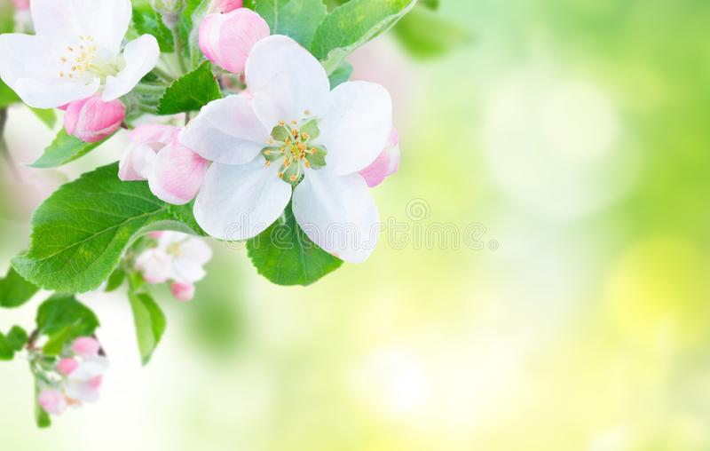 Apple tree blossom. Apple tree flowers blossom with green leaves over green garden defocused background banner royalty free stock photography
