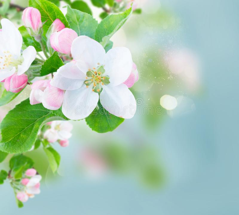 Apple tree blossom. Apple tree flowers blossom with green leaves over sky close up royalty free stock images