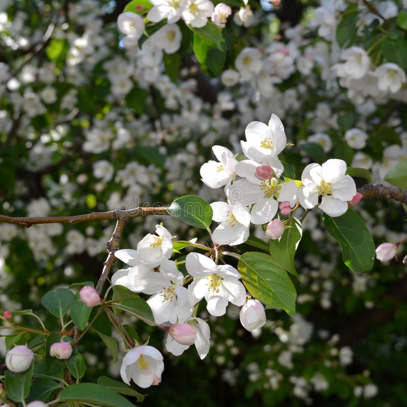 Apple tree blossom. Branche with white flowers stock image