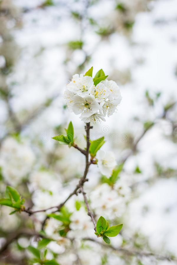 Apple tree blossom flowers on branch at spring. Beautiful blooming flowers isolated with blurred background stock photo