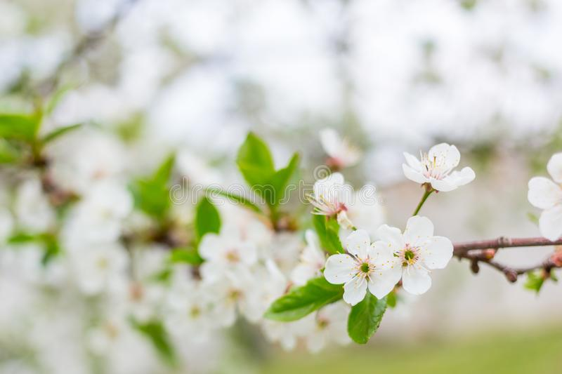 Apple tree blossom flowers on branch at spring. Beautiful blooming flowers isolated with blurred background royalty free stock photography