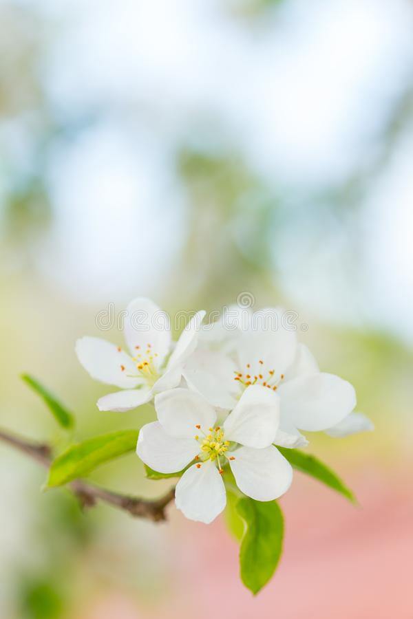 Apple tree blossom flowers on branch at spring. Beautiful blooming flowers isolated with blurred background royalty free stock images