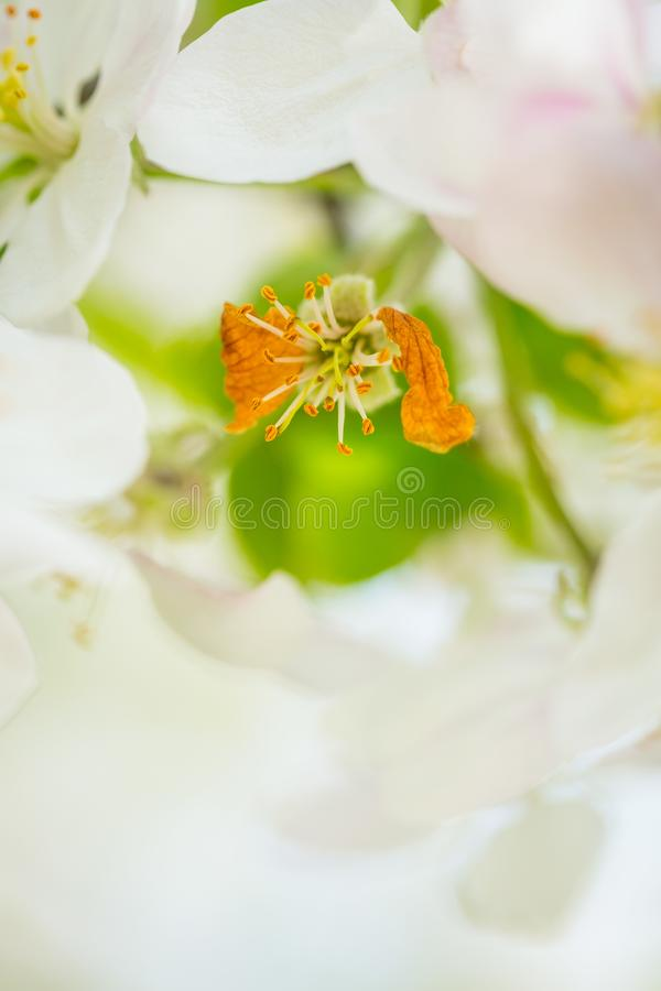 Apple tree blossom flowers on branch at spring. Beautiful blooming flowers isolated with blurred background royalty free stock photos