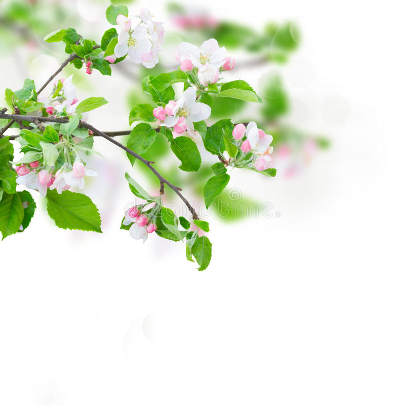 Apple tree blossom. Apple tree flowers blossom with green leaves over white background royalty free stock image