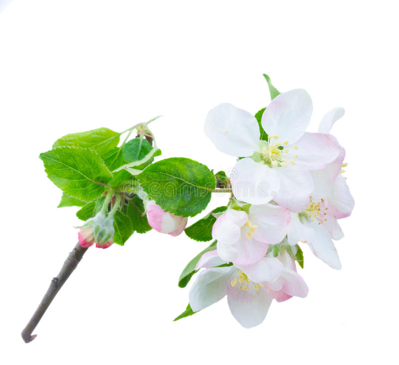 Apple tree blossom. Apple tree flowers blossom with green leaves twig isolated on white background stock photography