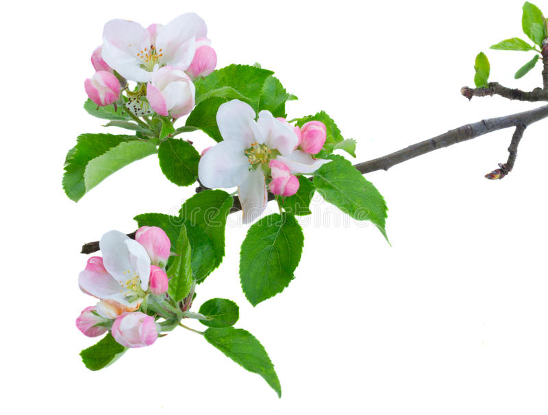 Apple tree blossom. Apple tree pink and white blossom with green leaves isolated on white background stock photos