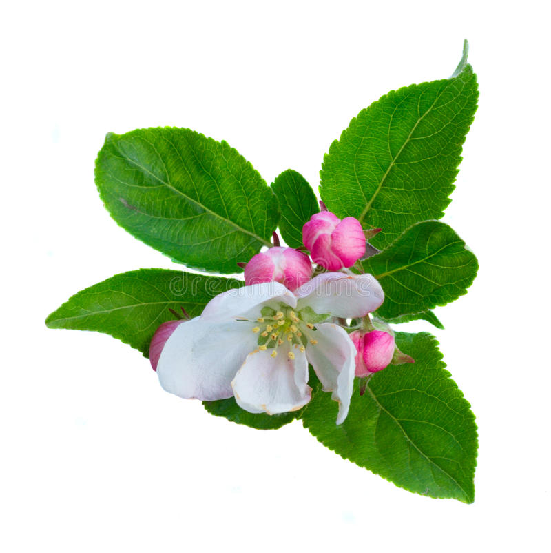 Apple tree blossom. Apple tree spring flowers and buds blossom with green leaves twig isolated on white background stock photography