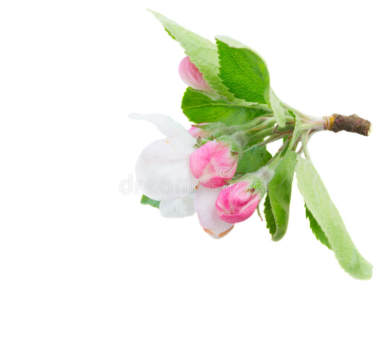 Apple tree blossom. Apple tree spring flowers blossom with green leaves twig isolated on white background stock photos