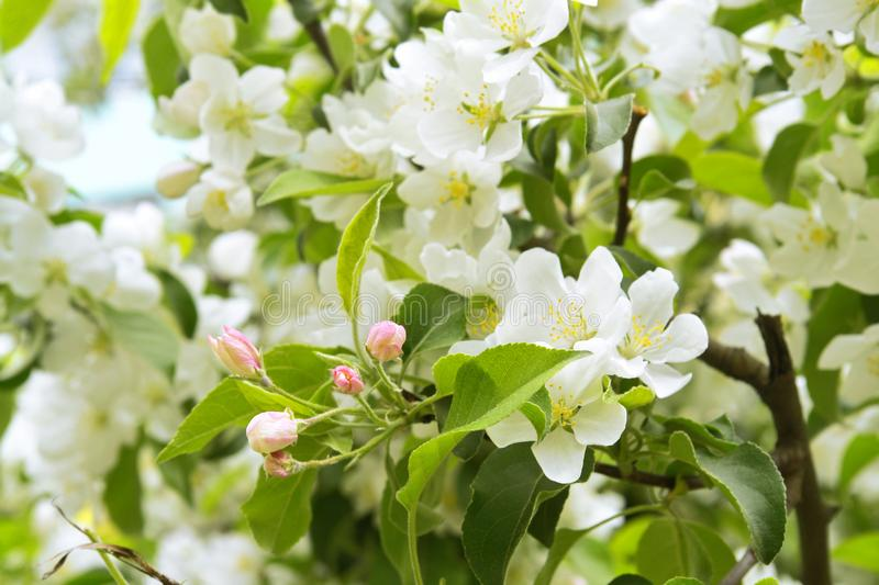 Apple tree blossoming stock photography