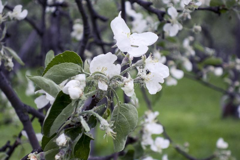 Apple tree blossoms in spring. stock photography