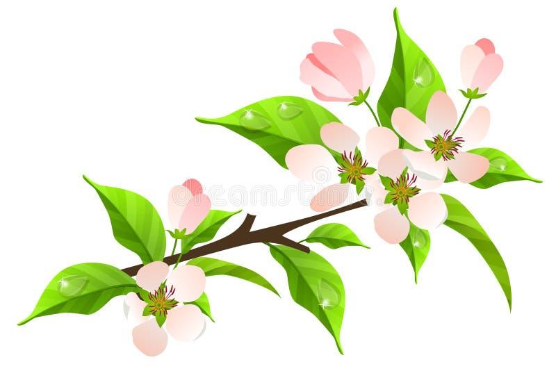 Apple tree branch in bloom royalty free illustration