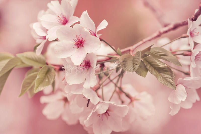 Apple Tree Branch In Bloom stock image