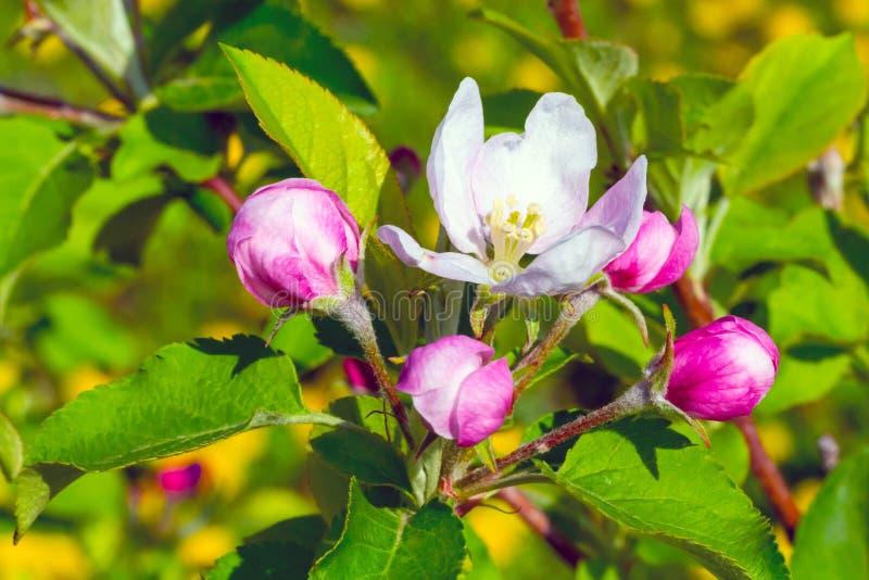 Apple branch blossom stock photo