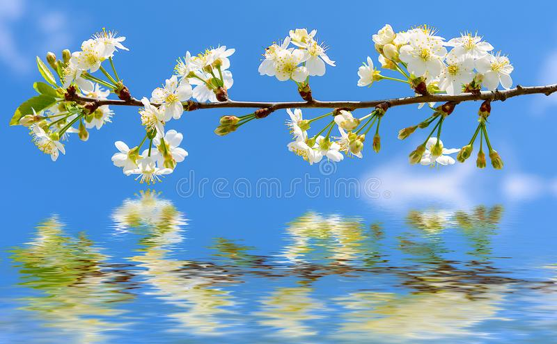 Apple tree branch with flowers over the water stock image