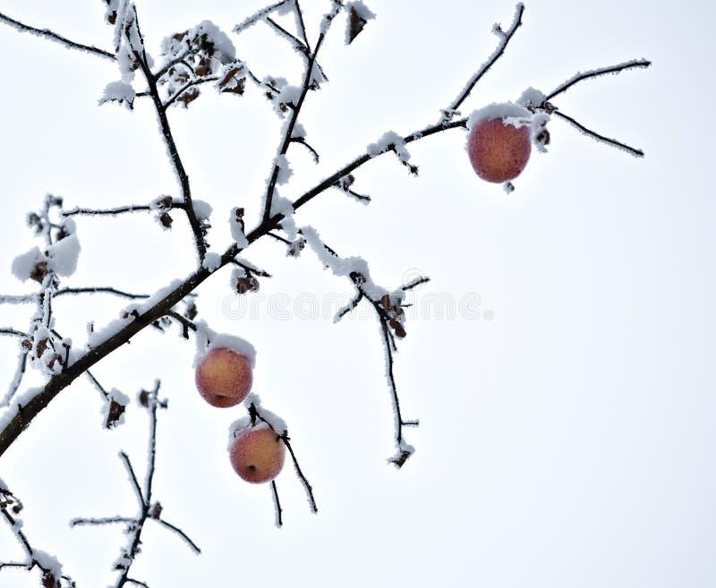 Apple tree branch of frozen garden stock images