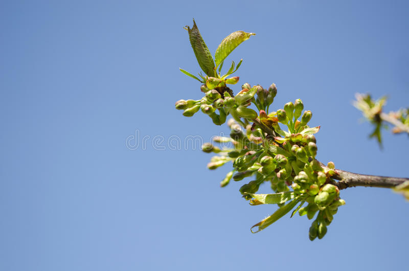 Apple tree branch green leaves buds sky background. Apple tree branch tip with green leaves and small buds on blue sky background stock photos