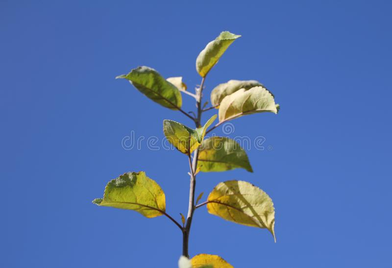 Apple tree branch with leaves royalty free stock photo