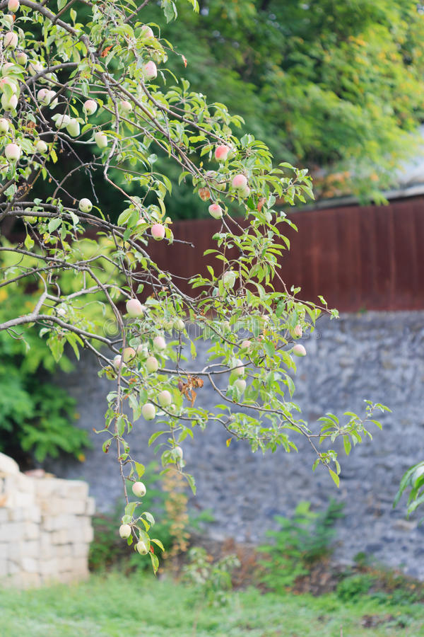 Apple tree branch over blurred stone wall stock image