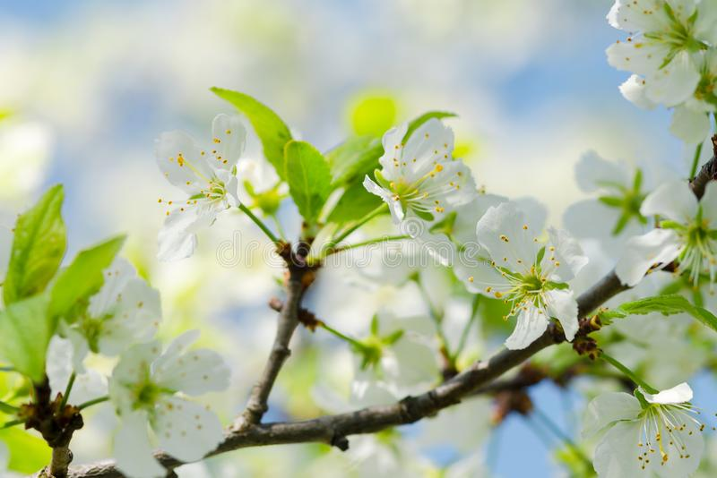 Apple tree branch with white flowers in an old garden against the sky. Soft focus. Macro. concept of spring. Flowers of. Trees stock photography