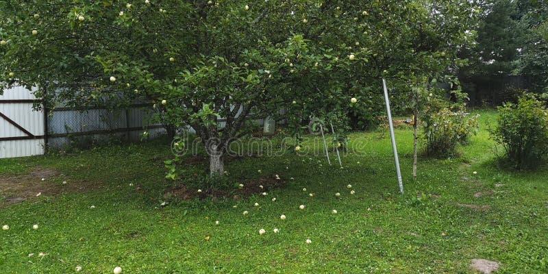 Apple tree com maçãs maduras imagens de stock
