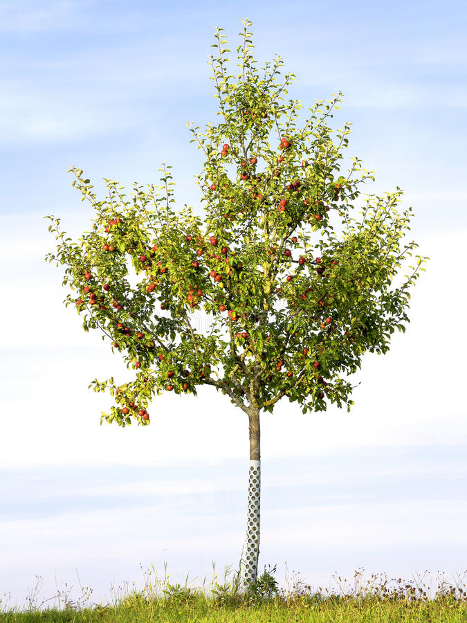 Download Apple tree in evening sun stock image. Image of agriculture - 33387369